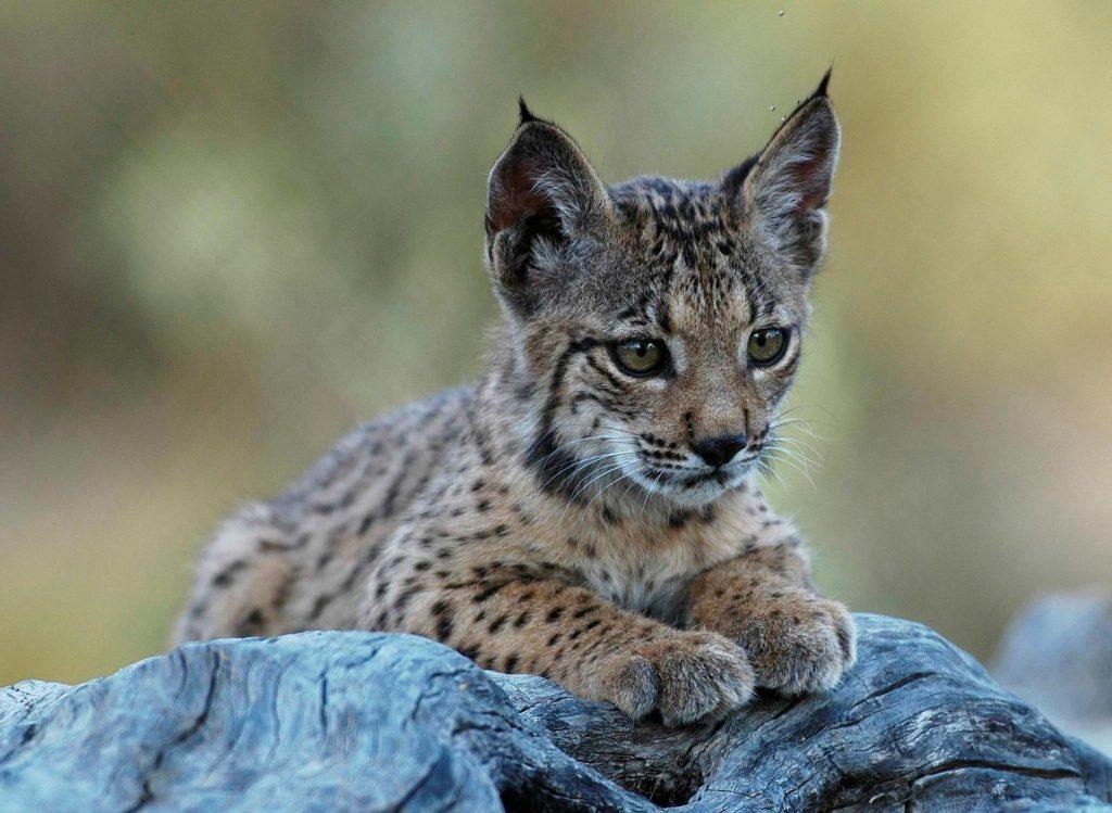 Programa de conservación WWF del lince ibérico